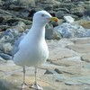 common gull.jpg